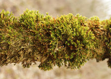 Green moss (Bryophyta) growing on a tree branch Royalty Free Stock Photography