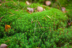 Green moss .Close-up  . Royalty Free Stock Images