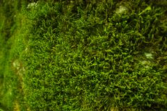 Green moss close up Royalty Free Stock Images