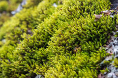 Green moss. Close-up. Royalty Free Stock Image