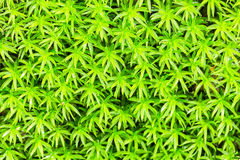 Green Moss close up Royalty Free Stock Photos