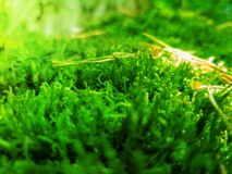 Green moss close-up in a forest with sunlight. Reflections Royalty Free Stock Photo