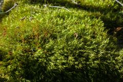 Green moss close-up image. Image of green moss close-up on a Sunny day Stock Image