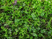 Green moss. Close-up of some vividly colored green moss Stock Photography