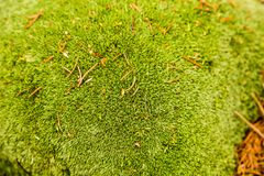 Green moss close-up in summer forest. Natural textures Royalty Free Stock Images