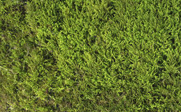 Green Moss Close up. On tree. Background Texture of Natural Surface Royalty Free Stock Image