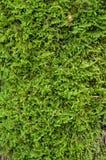 Green moss closeup Royalty Free Stock Images