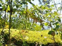 Green moss closeup. Royalty Free Stock Images
