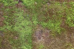 Green algae on concrete Wall royalty free stock image