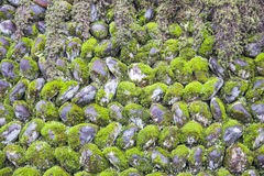 Green Moss cover on the Stone wall, Nature concept.  Royalty Free Stock Photography