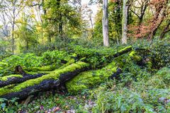 With green moss-covered dead tree trunk in a forest Stock Images