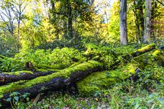 With green moss-covered dead tree trunk in a forest Stock Photos