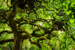 Green Moss covered tree in California Royalty Free Stock Image
