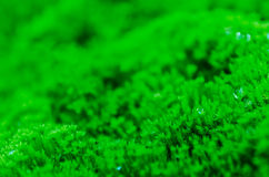 Green moss. Moss and dropping water background Stock Photo