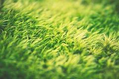 Green moss field. Macro texture Stock Photo