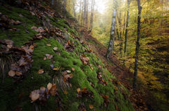 Green moss in a forest in autumn Stock Images