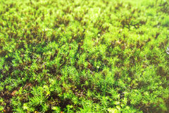 Green Moss in forest in rainy season Stock Images