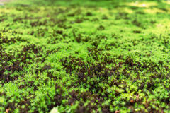 Green Moss in forest selective focus Royalty Free Stock Image