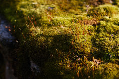 Green moss in the forest Royalty Free Stock Photos