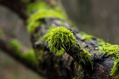 Green moss on forest tree. Intense couloured green moss on a forest tree on a wet morning Royalty Free Stock Photo