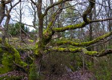 Green moss on the gnarly branches of an old oak tree. stock photo