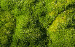 Green Moss Grass. Bright green moss plant with some wonderful texture Stock Photos