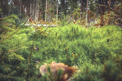 Green moss grass and mushroom in spruce forest background. Green moss grass and mushroom in spruce wood background Stock Images