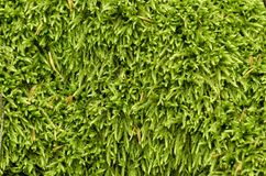 Green moss grass textured natural background. A great closeup from the plant world Royalty Free Stock Image
