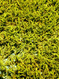 Green moss that grew on the rock of sandstone Stock Images