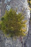 Green moss and grey lichen. On tree bark close-up Royalty Free Stock Photo