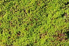 Green moss on ground Royalty Free Stock Images