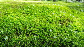 Green moss on the ground. With soft light Royalty Free Stock Images