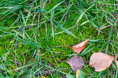 Green moss with some grass and red fallen autumn leaves. Royalty Free Stock Photo