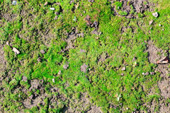 Green moss on the ground Royalty Free Stock Photo