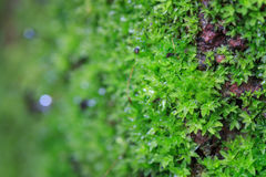 Green moss grow on old rock. In nature Stock Photo