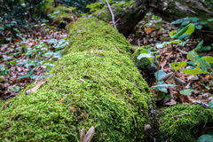 Green moss growing on a big tree trunk. Blurry forest background. Autumn leaves on the ground. Low-angel close-up shot. Royalty Free Stock Photography