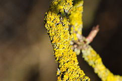 Green moss. Growing on a branch Royalty Free Stock Image