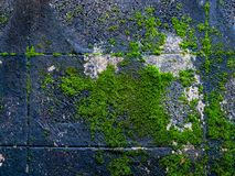 Green moss growing on brick wall. Abstract green moss on wall Royalty Free Stock Photography