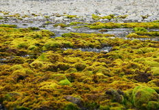 Green moss growing at Spitsbergen (Svalbard) Royalty Free Stock Photos