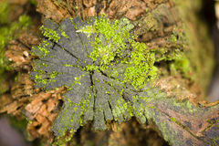 Green moss growing on a tree stump Stock Photography