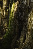 Green moss growing up large maple tree trunk stock photo