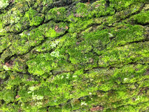 Green moss growing on a 100 year old oak tree bark Royalty Free Stock Photo