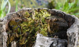 Green moss grows in mouldering stump Stock Image