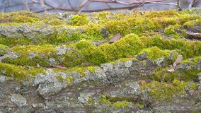 Green moss growth on the trunk of an tree. Green moss growth on the trunk of an old tree stock video