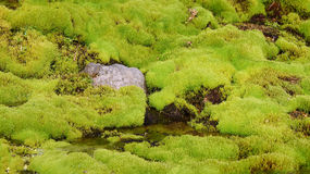 Green moss in Iceland Royalty Free Stock Photography