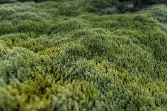 Green Moss in Iceland on Lava Ground. Stock Images