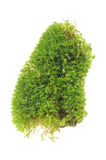 Green Moss Isolated on White Background Stock Image