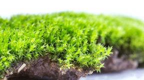 Green moss isolated on white background close up. royalty free stock photography
