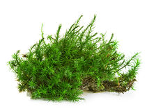 Green moss isolated on white Royalty Free Stock Photography