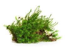 Green moss isolated on white Stock Photography